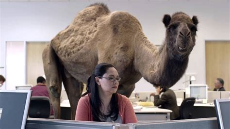 Geico Hump Day Camel Commercial Happier Than A Youtube | geico hump day camel commercial happier than a camel on
