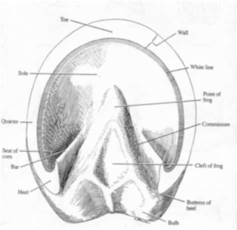 hoof diagram hoof anatomy diagram www pixshark images