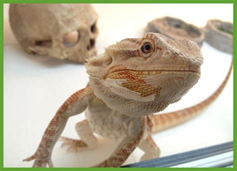 Do Bearded Dragons Shed by Shedding