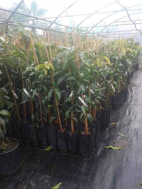 pianta di mango in vaso mango piante in vaso mango innestato mango innestato