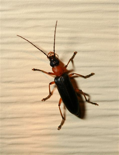 bed bugs hawaii red black false blister beetle ananca bicolor the