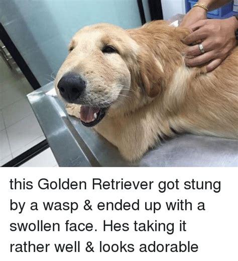 golden retriever stung by wasp 25 best memes about memes memes