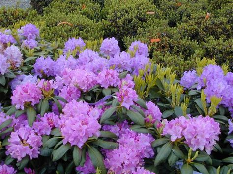 17 best images about rhododendron on pinterest gardens the winter and colored front doors