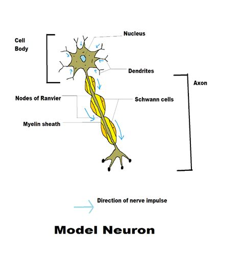 model of a motor neuron human nervous system science concepts