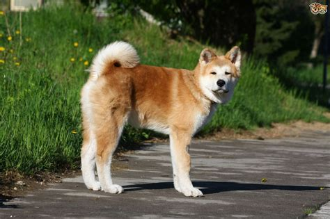 akita puppy cost akita breed information buying advice photos and facts pets4homes