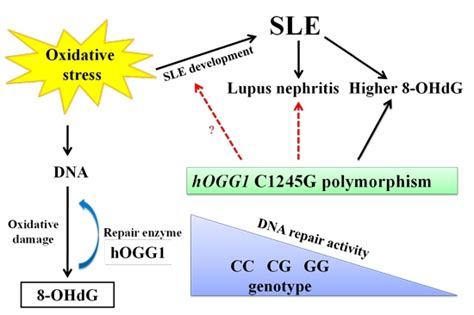 ijms free text the of hogg1 c1245g polymorphism in the susceptibility to lupus