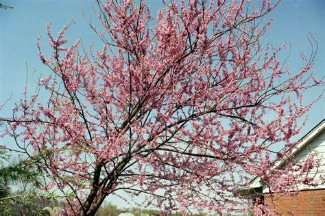 file american eastern redbud tree cercis canadensis jpg