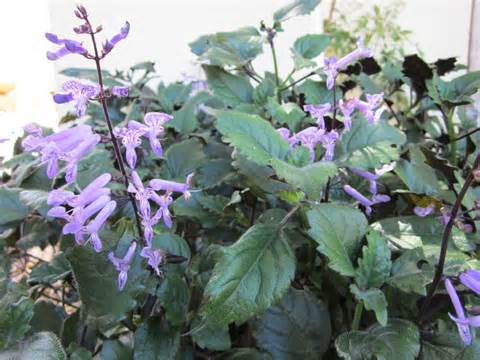 Shade Loving Foliage Plants - plectranthus mona lavender flowering by the gardening blog