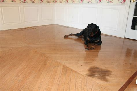 how to remove a pet stain from hardwood floors monk s