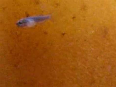 Makanan Ikan Hias Yang Baru Menetas terjual microworms makanan abadi untuk buyarak ikan