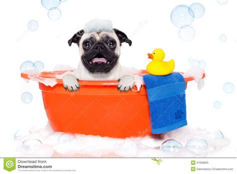 pug taking a bath taking a bath stock image image of salon 47636825