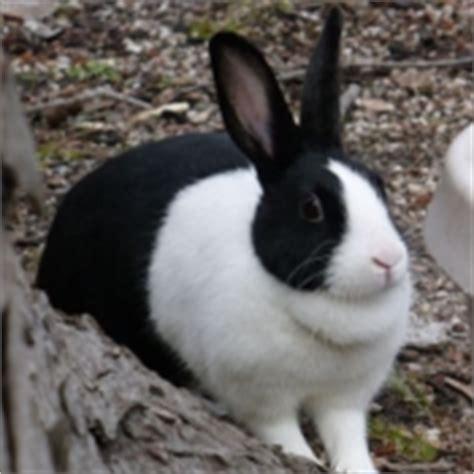 Oneck Ls Noir Sur Blanc les races de lapins reconnue en