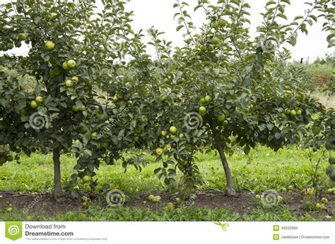 top tree farms in seattle area green apple tree stock photo image of tree small apples 45032660