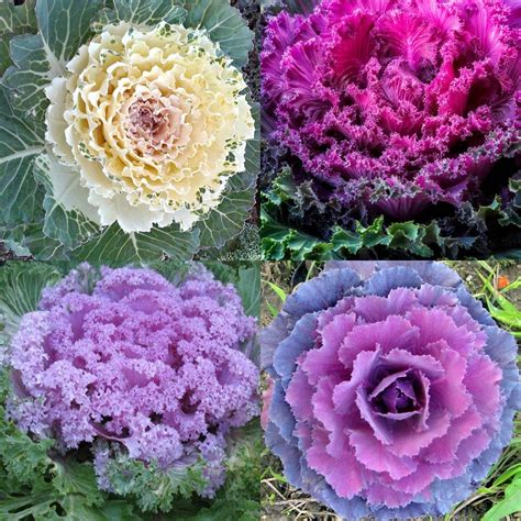 ornamental cabbage buy 75 ornamental kale seeds spring brassica oleracea