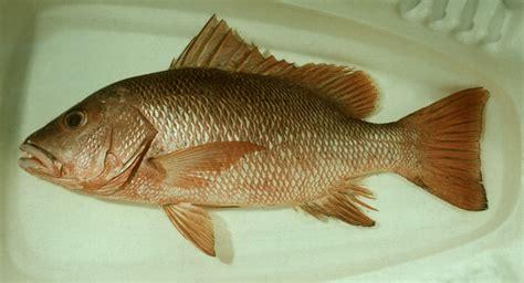 jenis ikan untuk membuat empek empek impian kita jenis ikan yg biasa dipakai untuk membuat