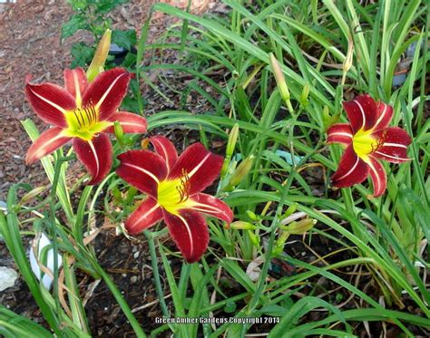 daylilies for shade 28 images daylilies forum what is