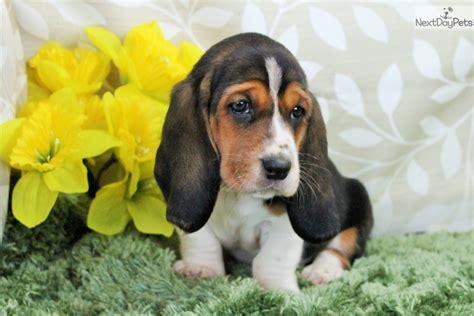 basset hound puppies colorado basset hound puppy for sale near denver colorado 5525f860 5d11