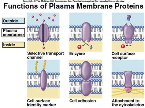 4 proteins in cell membrane 1000 images about chapter 3 cellular form and function