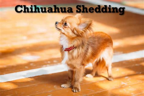 How To Stop Chihuahua From Shedding by Dealing With A Shedding Chihuahua