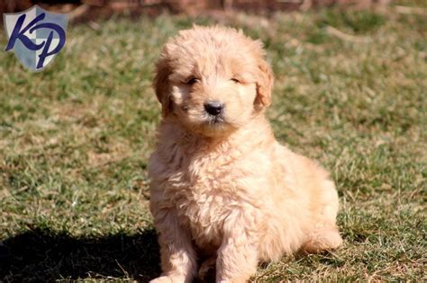 goldendoodle puppy pa goldendoodle puppies in pa breeds picture