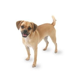 Puggles Shed by Puggle Puppies Glamorous Pooch Puppies For Sale