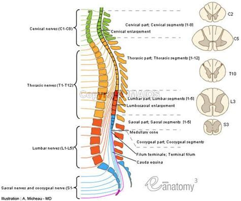 spinal cord injury diagram spinal cord anatomy diagram anatomy spinal