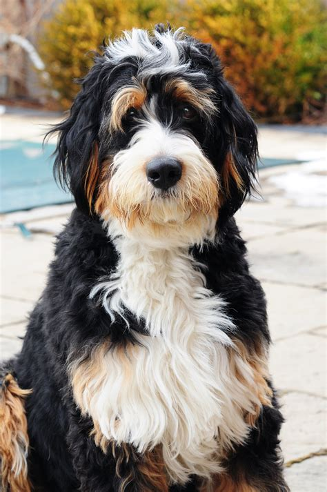 bernedoodle puppy bernedoodle from swissridge kennels zolo blizzard animal and