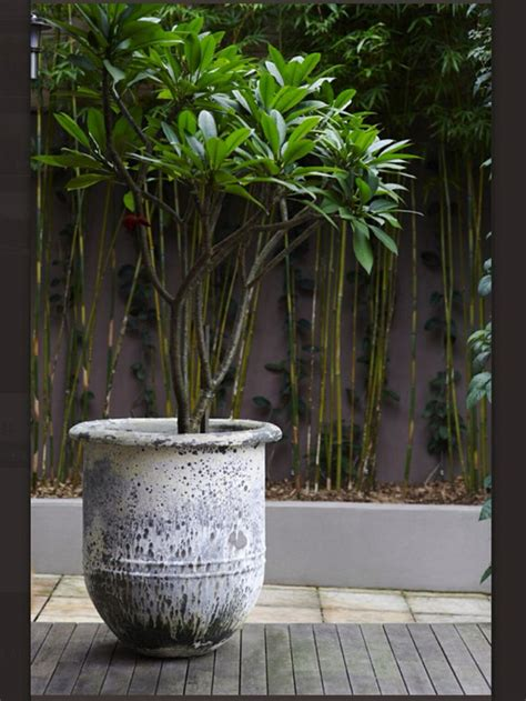 potted frangipani balcony ideas pinterest trees
