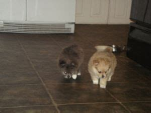 pomeranian puppies for sale in ny area pomeranian puppies for sale