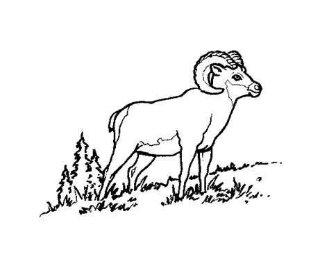large sheep coloring page ram horns coloring pages