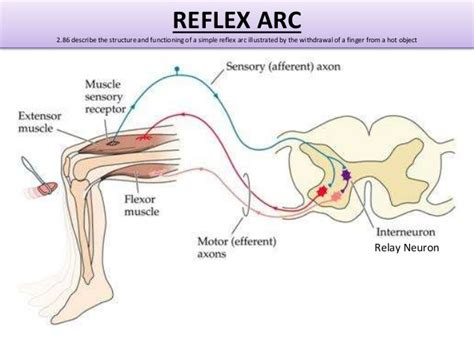 diagram of reflex reflex arc diagram labeled reflex get free image about