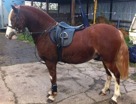 welsh section c height bargain stunning welsh section c gelding swadlincote