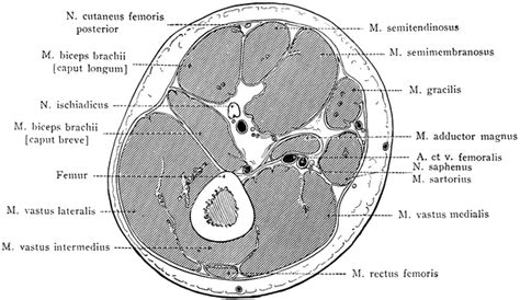 cross section of thigh cross section through lower third of thigh clipart etc