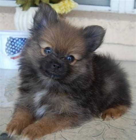 teacup pomeranian orlando pomeranian puppies orange boy w white markings in orlando pommy