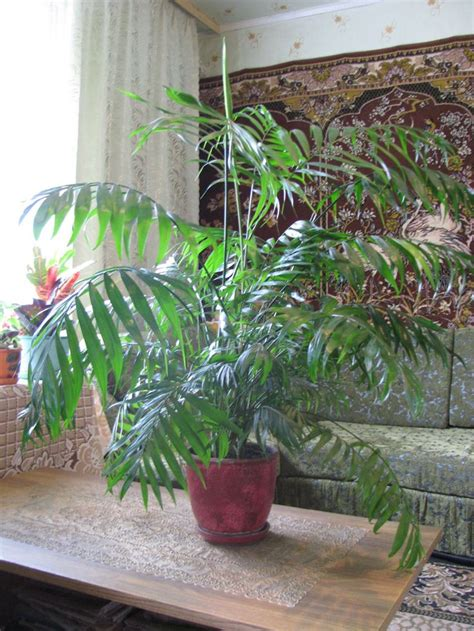palm gardens pest 17 best images about areca palm on plants for