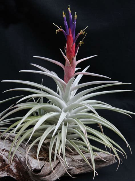 tillandsia harrisii air plant world  flowering plants