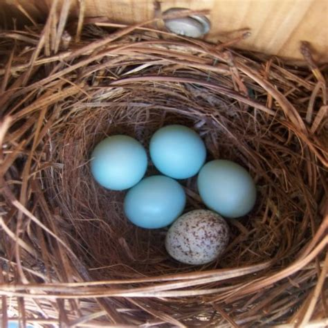 house sparrow eggs house sparrow eggs house sparrow bluish eggs picture 2