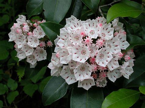 kalmia latifolia kalmia latifolia