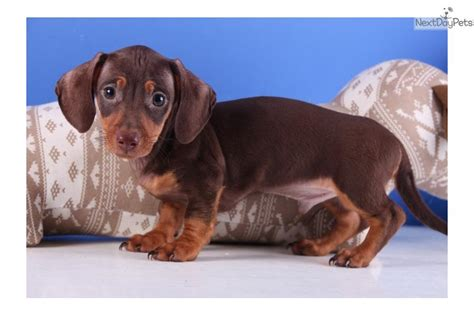 miniature dachshund puppies for sale in ohio dachshund mini puppy for sale near mansfield ohio 676076c9 9c91