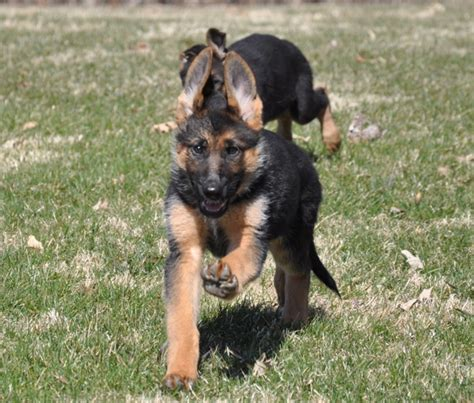 german shepherd puppies for sale in delaware vollmond breeder of german shepherd puppies dogs for sale chicago illinois
