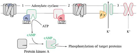G protein-coupled receptors G Protein Coupled Receptors Adenylyl Cyclase