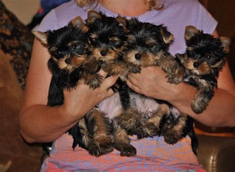 teacup yorkie for sale up to 400 teacup yorkies for 300 dollars for sale united states pets 4