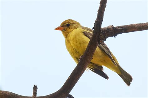 birds of new york western tanager