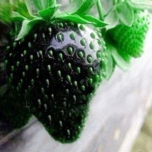 Jual Bibit Buah Strawberry jual benih bibit buah strawberry hitam import black
