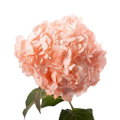 peach hydrangea petite hydrangea types  flowers