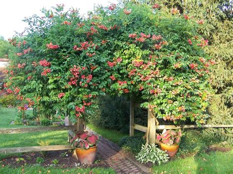 the all things plants most popular vines and climbers