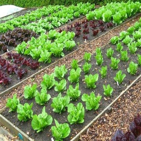 coltivare lattuga in vaso come fare orto guide per il giardinaggio nell orto e in vaso