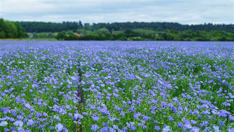 Blue Flower Crop image gallery linseed flower