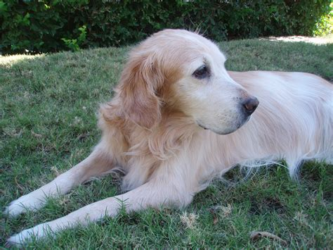 arthritis in golden retrievers hip dysplasia in golden retrievers shealth