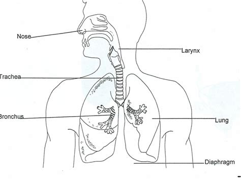 draw a diagram respiratory system science biology genetics showme